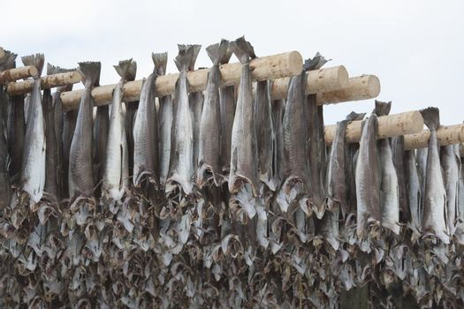 Dried cod stockfish in Loftofen Norway for export to Italy