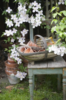 Flowering clematis and garden tools in backyard