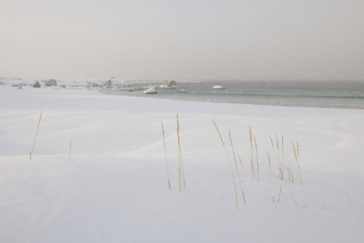 Reeds grow near Ramberg in Flakstadoya Loftofen islands  Norway