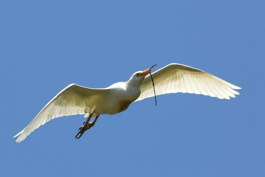 Egret Flying with Twig in Beak