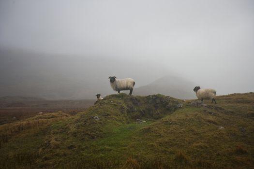 Sheep grazing on misty farm