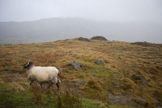 Sheep walking through foggy meadow