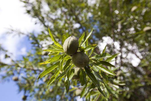 Close-up of almonds on almond tree, Spain
