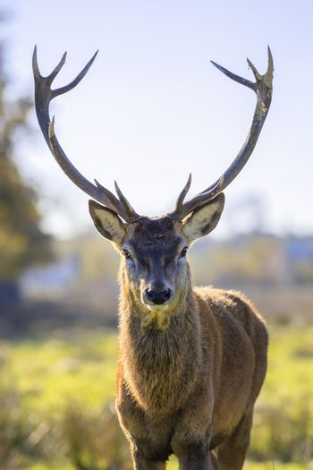 majestic powerful adult red deer