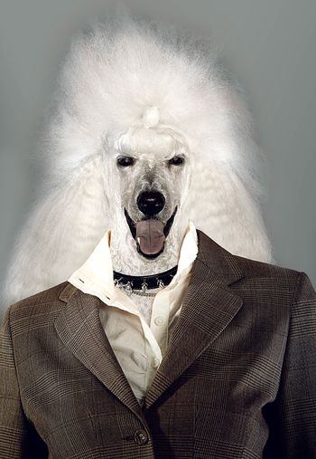 Poodle Businesswoman laughing at the camera
