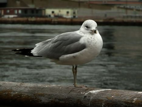 Close-up of a Seagull over the Hudson River, New York, USA