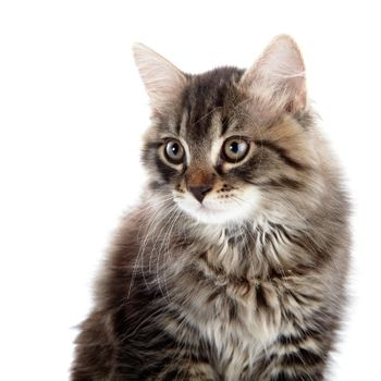 Portrait of a striped fluffy cat