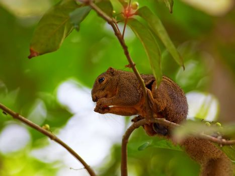 Red Squirrel sitting on a branch eating