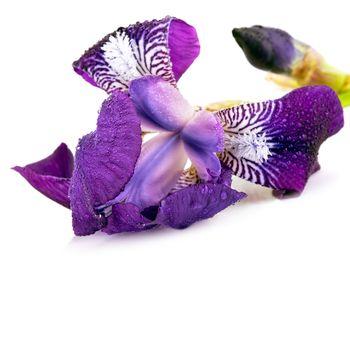 Violet Iris flower.