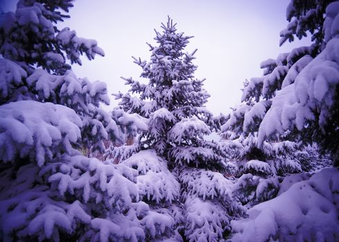 Christmas Trees under Beautiful Snow Cover. Winter Landscape