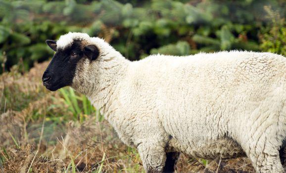 Sheep Ranch Livestock Farm Animal Grazing Domestic Mammal