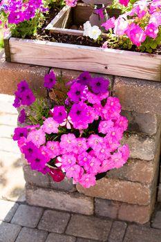 Petunias Hanging on the Brick Pillar