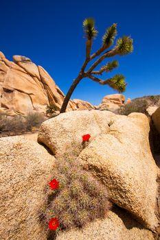 Orange Mohave Mound Cactus Flowers in Joshua Tree