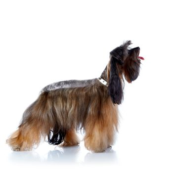 The decorative doggie cost on a white background.
