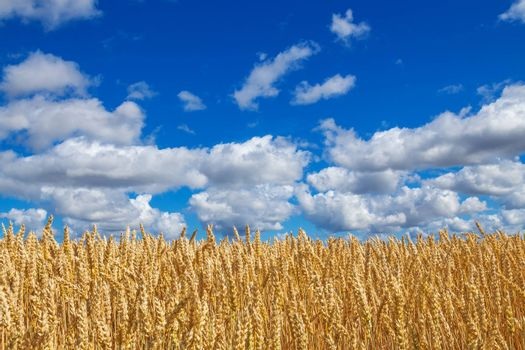 Close-up of golden wheat field, under blue sky with clouds.