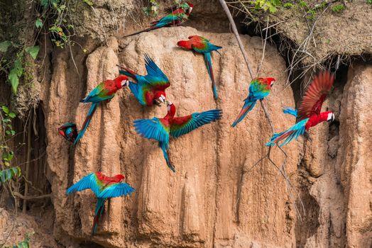 macaws in clay lick in the peruvian Amazon jungle at Madre de Di