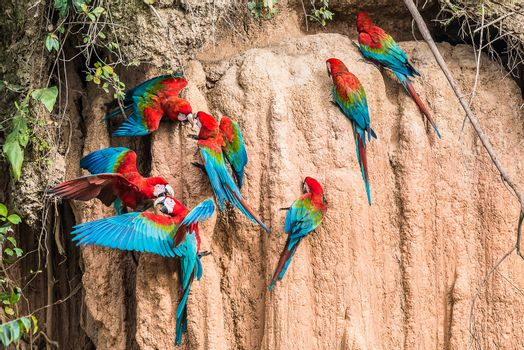 macaws clay lick peruvian Amazon jungle Madre de Dios Peru
