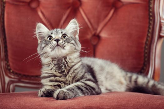Kitten relaxing on a baroque armchair