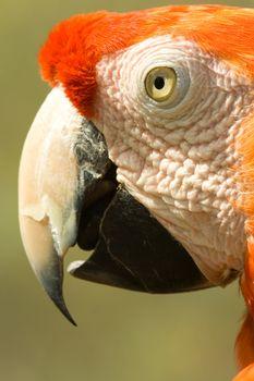 Arara parrot