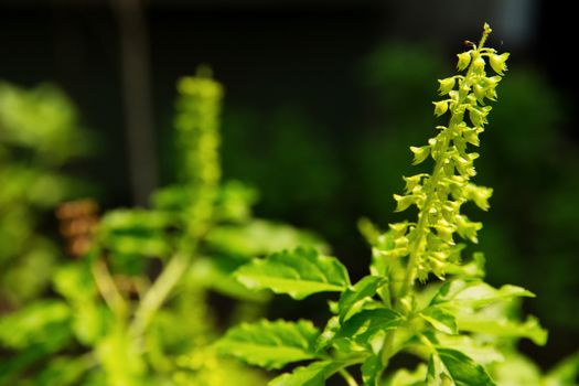 Holy basil flower