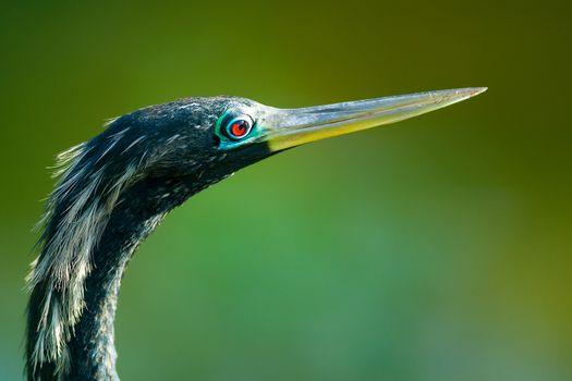 Bird with long beak or bill called Anhinga