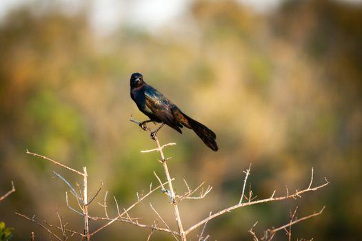 Blackbird on twig
