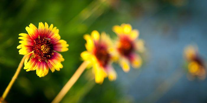 Blanket flowers