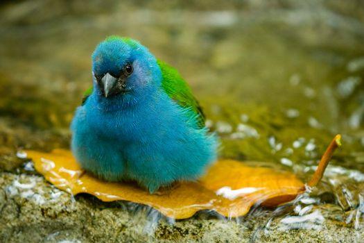 Blue bird taking bath