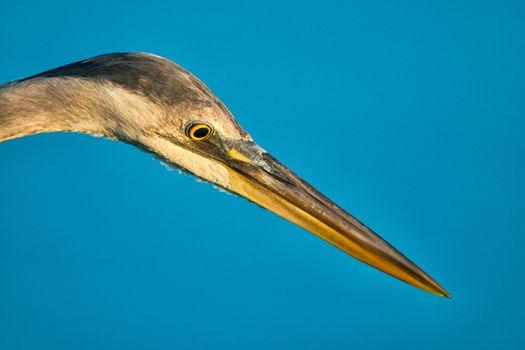 Egret beak