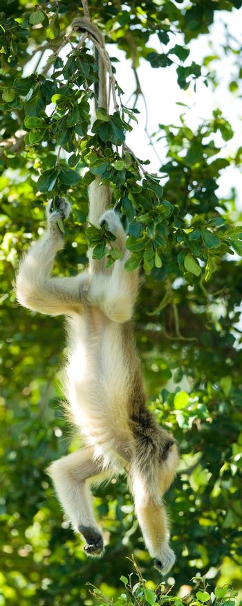 Langur hanging from its tail