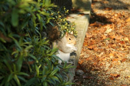 Little squirrel between bushes and fallen leaves