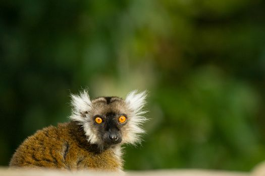 Scared little lemur