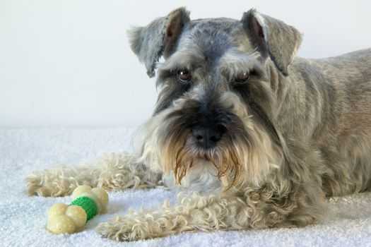 Schnauzer dog with bone