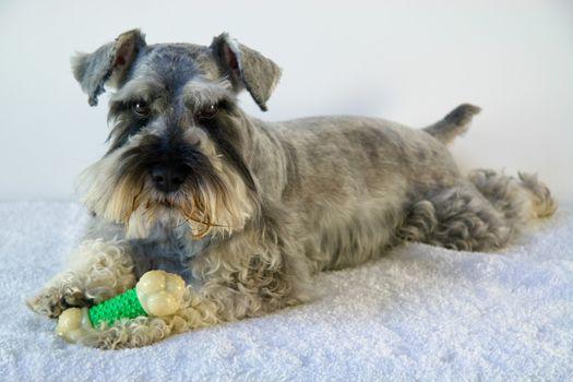 Schnauzer dog with toy bone