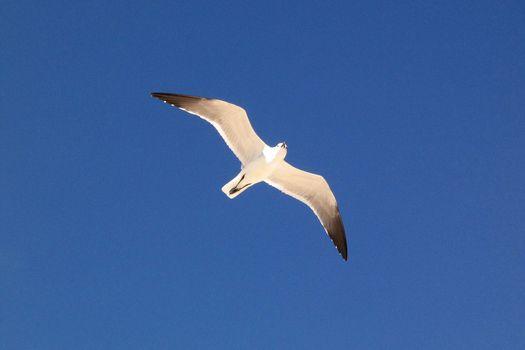Seagull bird in flight
