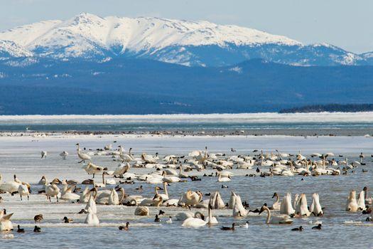 Migratory waterfowl Swan Haven Marsh Lake Yukon