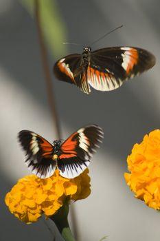 Two numata butterflies