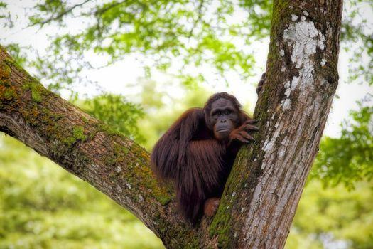 Orangutan in the jungle of Borneo, Malaysia