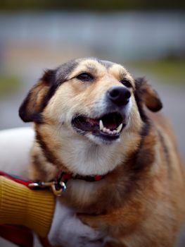 Portrait of a not purebred dog.