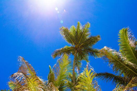 Coconut Palm tree on the sandy beach in Seyshelles