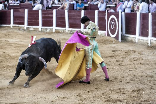 Spanish bullfighter Manuel Jesus with the capote or cape bullfighting a bull of nearly 650 kg of blackash during a bullfight held in Ubeda