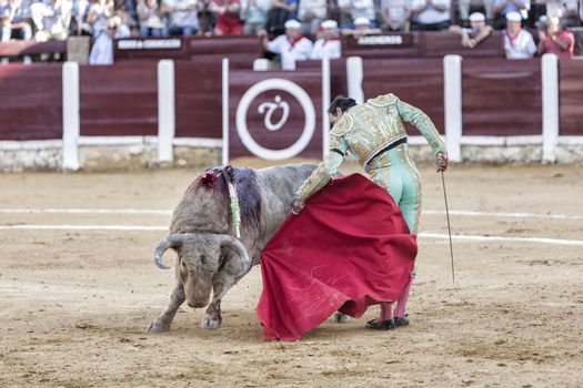 Spanish bullfighter Manuel Jesus with the cape bullfighting a bull of nearly 600 kg of grey ash during a bullfight held in Ubeda