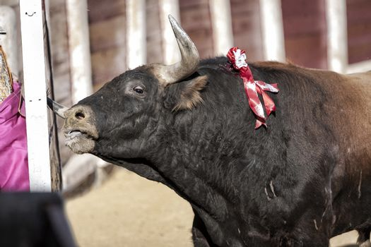 Capture of the figure of  a bull nearly 600 kg of brown ramming their horns in burladero during a bullfight held in Ubeda