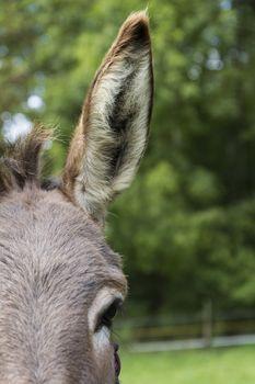 detail shot of brown donkey outdoors. huge ear