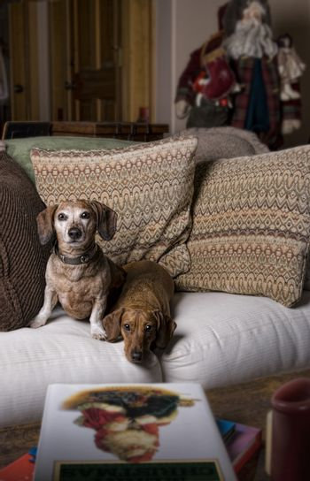Two Dachshunds in a Homey Christmas Setting