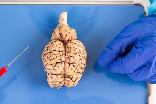 Whole cow brain viewed from above