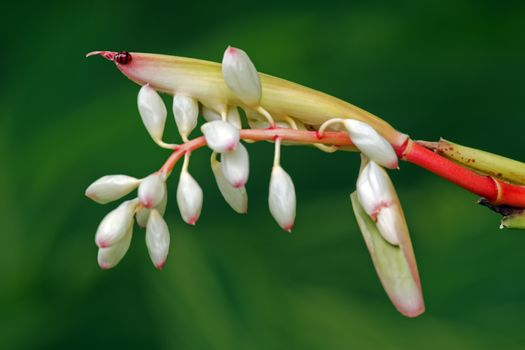 It's scientific name was called Alpinia zerumbet