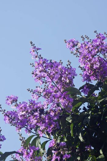 Its scientific name is Lagerstroemia indica flowers