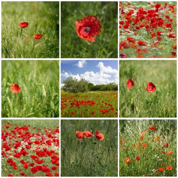 red poppies in Tuscany - collage