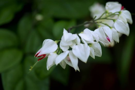 His Latin name: Clerodendrum thomsonae